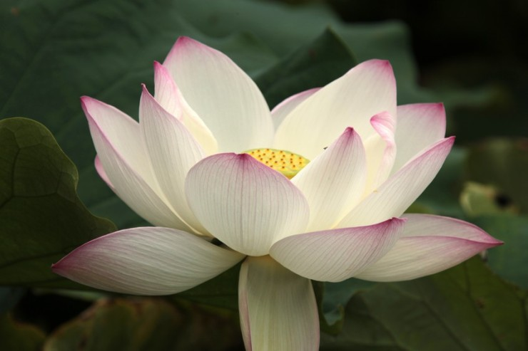 lotus flower sacred