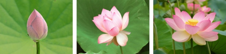 lotus flower three stages