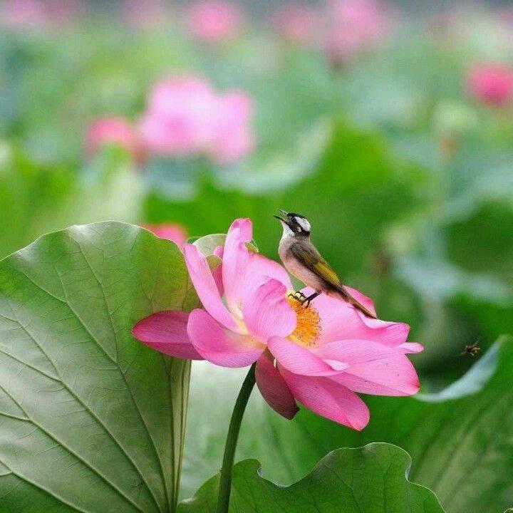 lotus et petit oiseau kanno hisao
