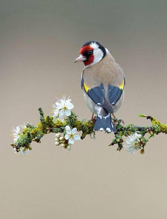 oiseau multicolor sur une branche de cerisier kanno hisao